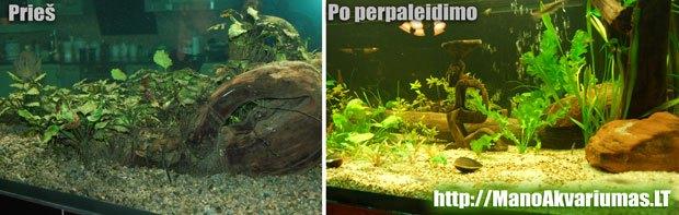 Kaip atrodo dumbliai akvariume