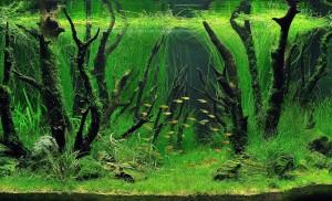 augalai akvariume